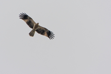 This osprey lived near our place on the Sunshine Coast.